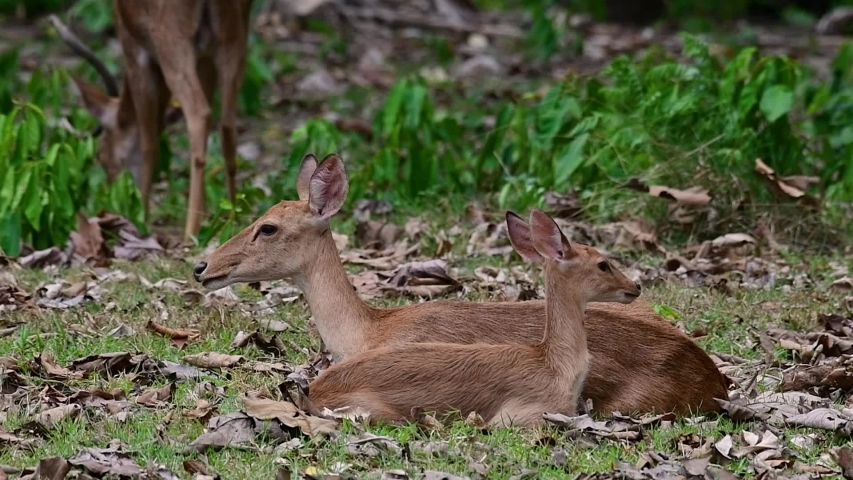 The Eld's Deer is an Endangered species due to habitat loss and hunting;  | Shutterstock HD Video #1033275827