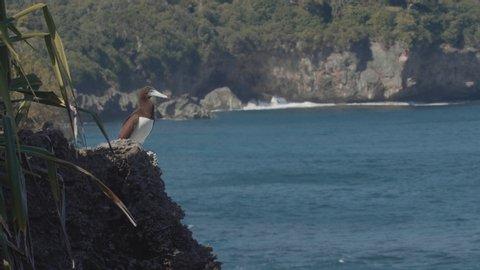 Brown booby bird on christmas island sula leucogaster