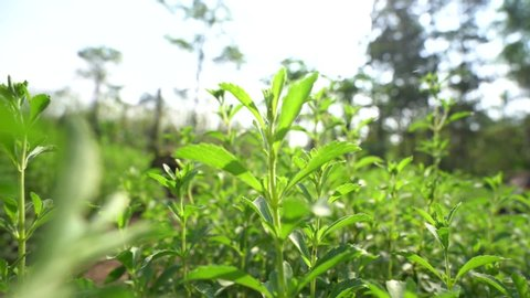 Dolly Zoom Stevia farm  in Thailand. Sweet plant, Sugar Free plant. Video 50 Fps