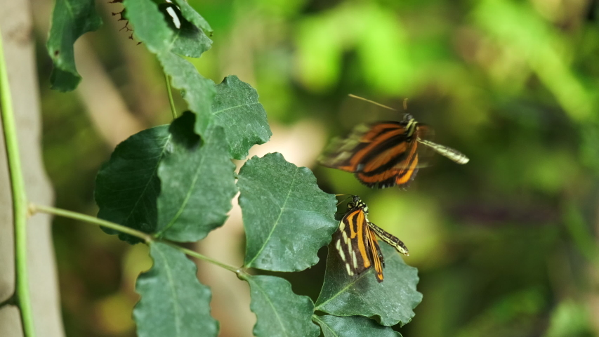 Close up video of beautiful black butterflies with white and orange stripes on the wings, standing on a leaf, flying. ProRes 10 bit. 4K. Slow motion. | Shutterstock HD Video #1034278217