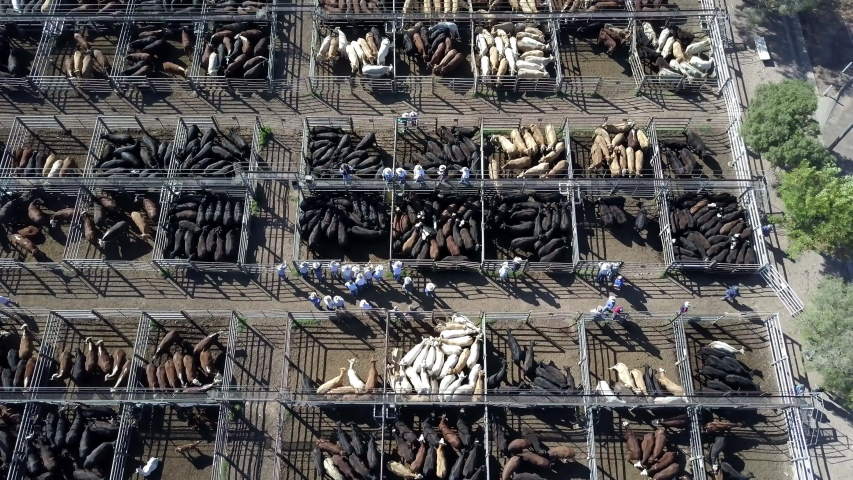 Static top down aerial footage of busy cattle auction with hundreds of cattle huddled up in small corrals.