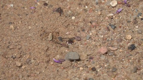 The female Northern Dune Tiger Beetle (Cicindela hybrida) digs a mink, the male tries to woo her