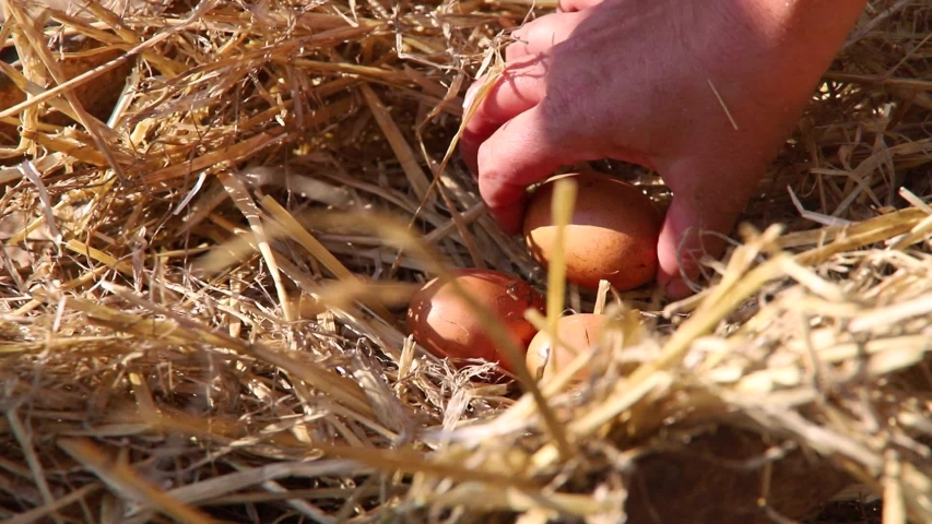 Nest with chicken eggs on a farm at sunny morning. Farmer's hand picks up eggs for breakfast. | Shutterstock HD Video #1034660717