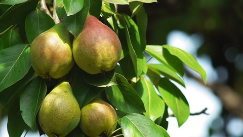 pears on a tree close-up of organic fruit