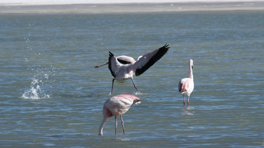 James's flamingo (Phoenicoparrus jamesi) flies over the lake surface, lands on the water and starts foraging. Altiplano, Bolivia | Shutterstock HD Video #1035345287