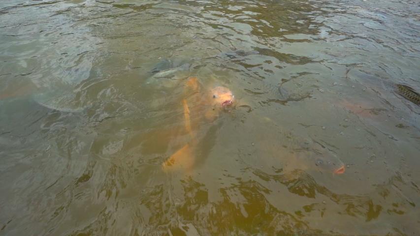 Slow motion feeding tilapia fish in pond    Shutterstock HD Video #1035429617