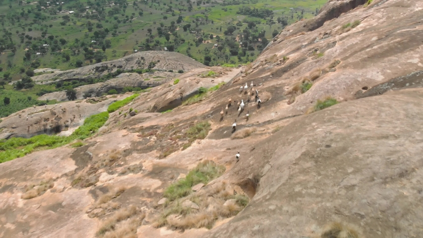 Aerial shot tracking a herd of goats as they run away on top of a large granite boulder mountain in Africa.