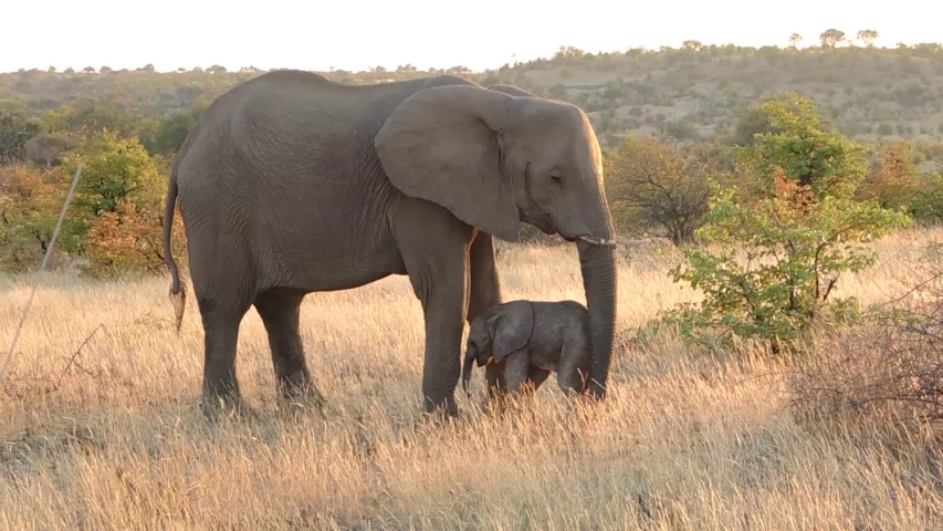Baby Elephant and his mother | Shutterstock HD Video #1035760997