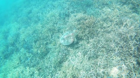 Underwater video with a green sea turtle on a coral reef in shallow water at Isle Signal in New Caledonia, French Polynesia, South Pacific Ocean.