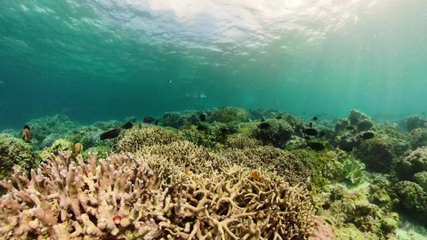 360 panorama: underwater world of coral reef with fishes at diving. Coral garden under water, Philippines, Camiguin.
