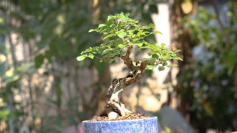 Rotation show bonsai trees with the shape as needed  after a complete  bonsai growing  bonsai tree in the terracotta,ceramic pot on bonsai stand a  natural background
