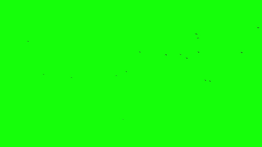 A flock of fast black birds flies from right to left against a green background Chromakey green screen footge