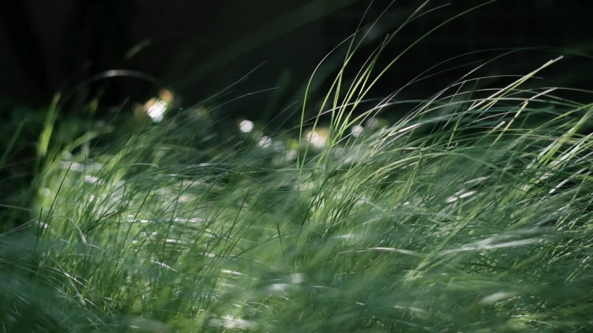 Natural meadow grass slowly swayed by wind blow. The beautiful green swaying grass field is relaxing & romantic. It waving along wind breeze. Slow motion & copy space. Green environment concept. | Shutterstock HD Video #1036900487