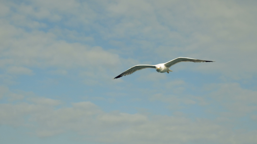 Wild bird. Seagulls flying against the blue sky. Seagull catching a thrown piece of bread. Greece. 4K   Shutterstock HD Video #1036947137