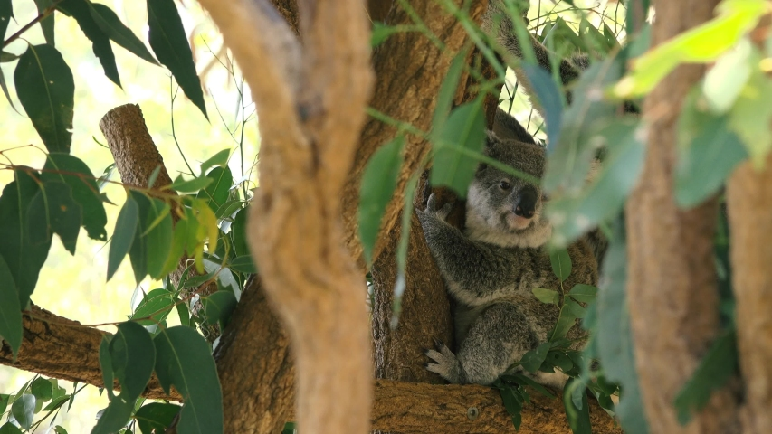 Cute Australian mother Koala with her joey in a tree resting during the day. | Shutterstock HD Video #1037172887