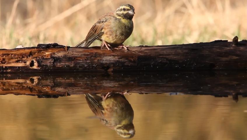 Cirl bunting, Emberiza cirlus, birds, animals | Shutterstock HD Video #1037195147