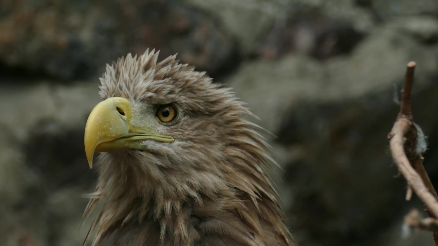 Close-up portrait of a brown eagle against a dark background. Bird of prey emotion | Shutterstock HD Video #1037202107
