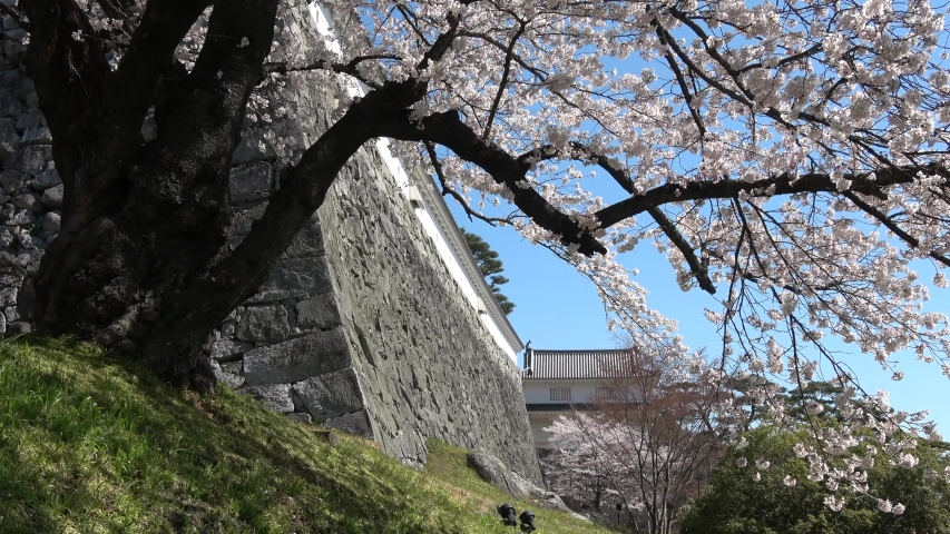 """Famous place """"cherry tree of the Kasumiga-jo Castle park"""" of the cherry tree in Nihonmatsu-shi of Fukushima. 