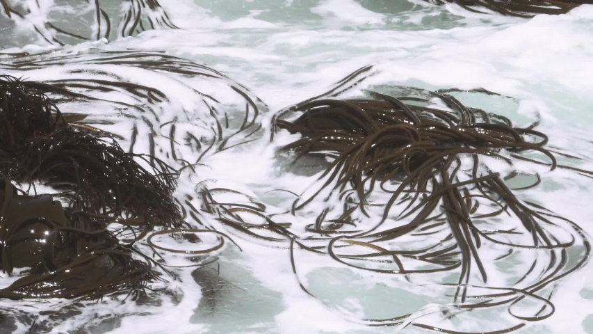 Seaweed moving with the current on the surface in ocean. Slow motion   Shutterstock HD Video #1037366417