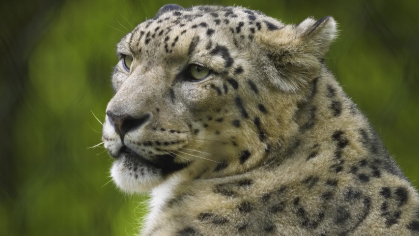 Close up of snow leopard head looking to the right. #1038362117