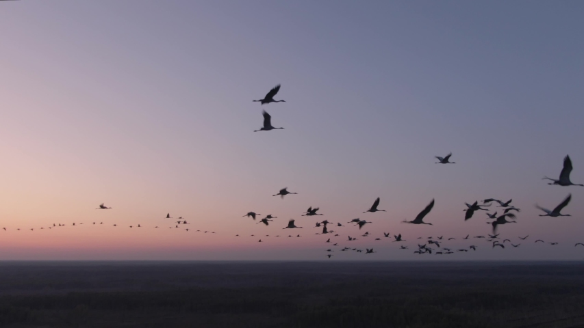 Flight with birds. Flock of cranes in flight. Aerial view of flying birds in the red sky at sunrise. Common crane. Grus grus. | Shutterstock HD Video #1038473417