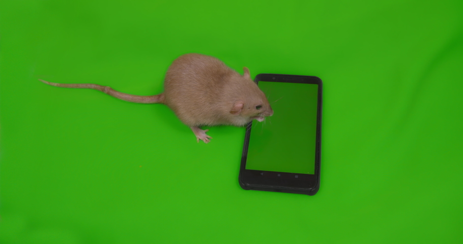 Cute rat with smartphone. Green screen. Advertising concept. Social media, shopping online, e-commerce. Washing.  Symbol of coming 2020 New Year, Christmas Close up | Shutterstock HD Video #1038998327