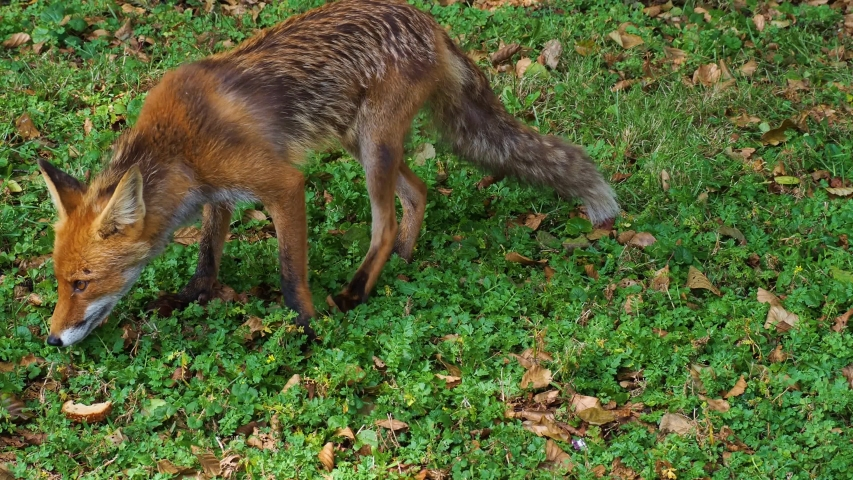 Wild animal red fox (Vulpes feeding in a field and eats obtained bread | Shutterstock HD Video #1039278077