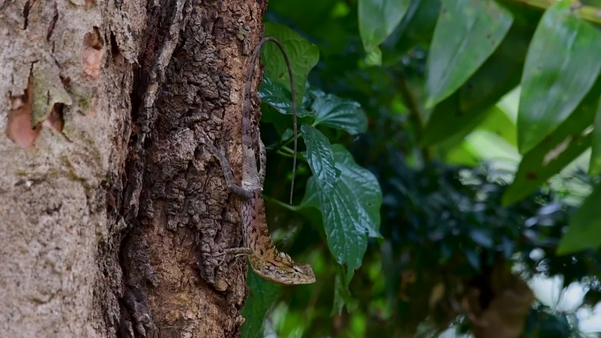 The Oriental Garden Lizard is also called the Eastern Garden Lizard, Bloodsucker and Changeable Lizard; it has the ability to change its colours according to its lifecycle and can be commonly found. | Shutterstock HD Video #1039280267