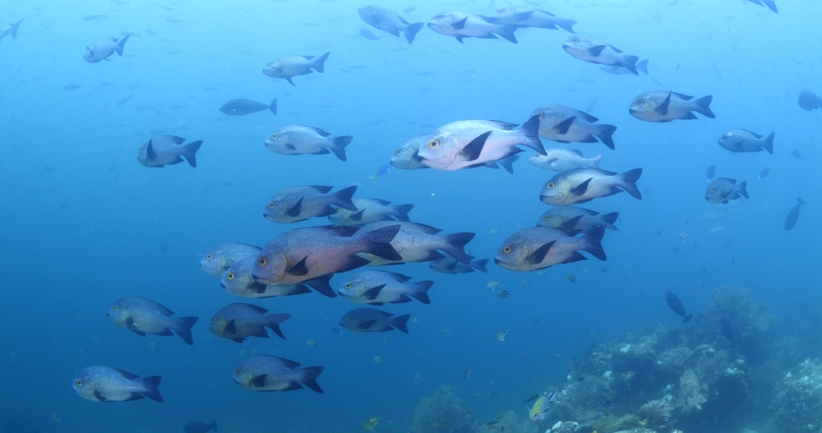 Big eye snappers underwater  school of fish in tropical waters some corals   Shutterstock HD Video #1039757237