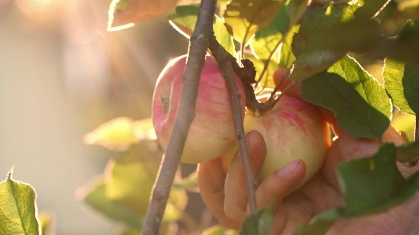Close-up of farmer's male hands picks red apple from branch at orange sunset in autumn garden. Harvest time. Fresh organic fruits concept. Vegan food | Shutterstock HD Video #1040311967