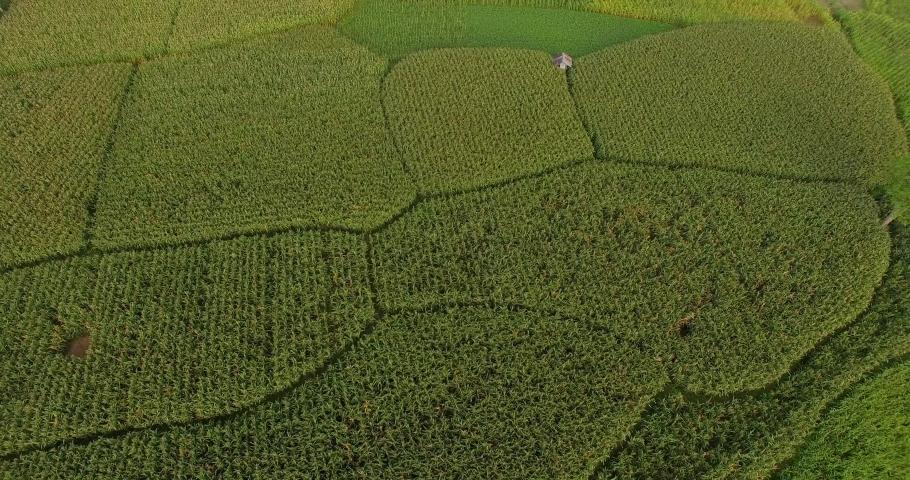 Drone fly over on green corn tree field in Sumbawa  | Shutterstock HD Video #1040698037