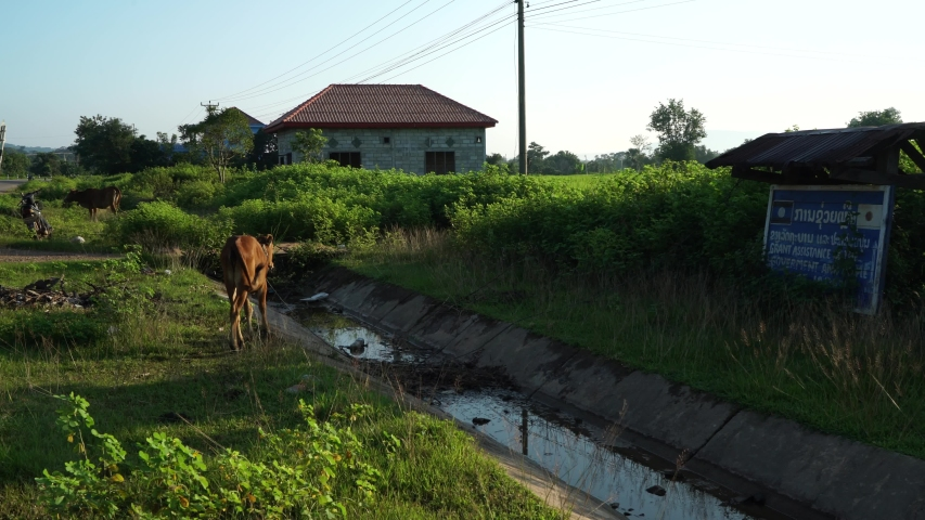 Cow on the side of the street - Asia | Shutterstock HD Video #1041121447