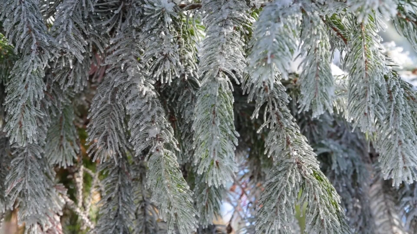 Closeup view video footage of beautiful green winter coniferous trees covered with fresh white snow growing outdoor.  Natural Christmas background.  | Shutterstock HD Video #1041129817