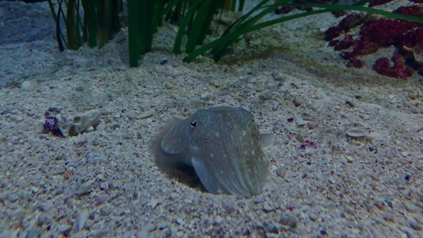 Cuttlefish resting on sand in aquarium   Shutterstock HD Video #1041460537