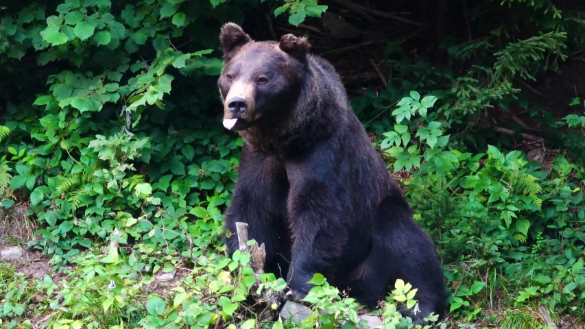 Black bear on the background of the forest.   Shutterstock HD Video #1041460657