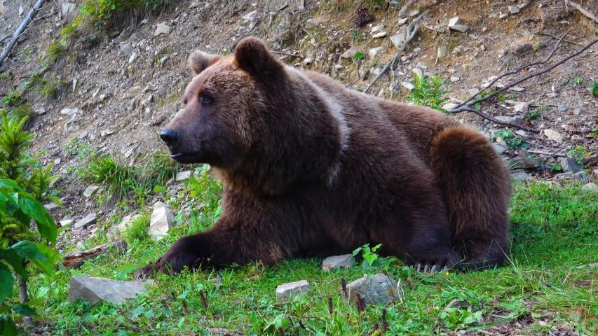 Huge brown beautiful bear eat grass.   Shutterstock HD Video #1041460777