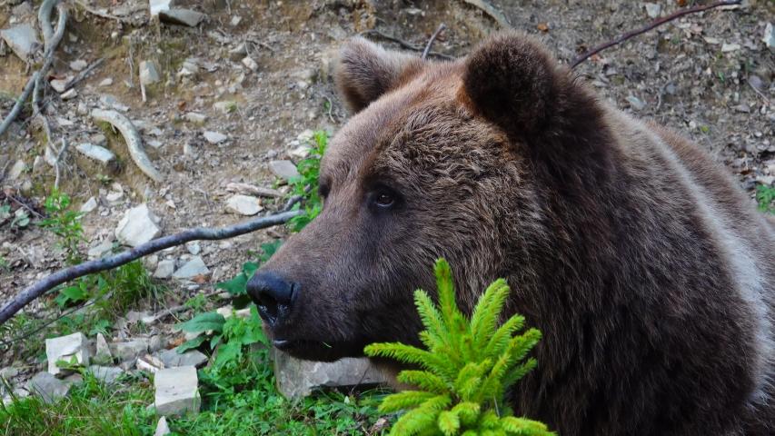 A huge brown bear is sitting in ambush.   Shutterstock HD Video #1041460867