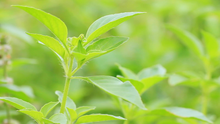 Hairy basil or Ocimum basilicum tree in morning sunlight. It is herbs and ingredients for cooking in Thai food. Smooth green nature background. Copy space for text. | Shutterstock HD Video #1042239127