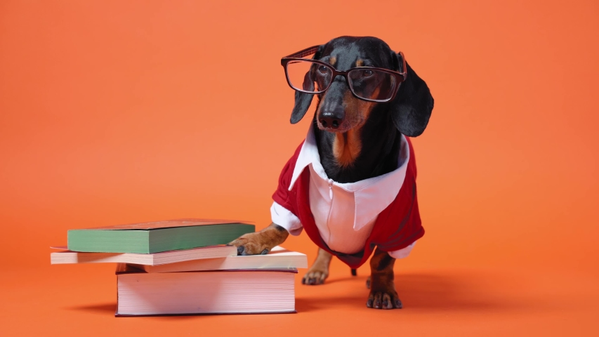 Cute dachshund dressed in red and white costume and glasses stands close to the pile of books, leaning on them with paw. Barks and runs out. Teaching or educating concept. Bright orange background.   Shutterstock HD Video #1042366447