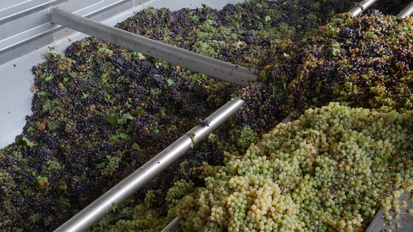 Looking into a vat of grapes in a winery as machinery destems and crushes the grapes. | Shutterstock HD Video #1042684747