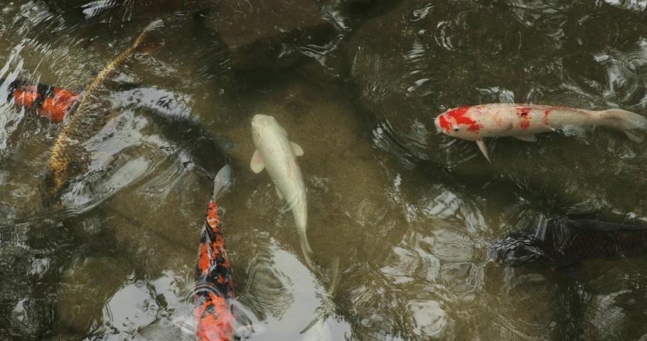 Koi fish in an ornamental Japanese fish pond | Shutterstock HD Video #1042801027