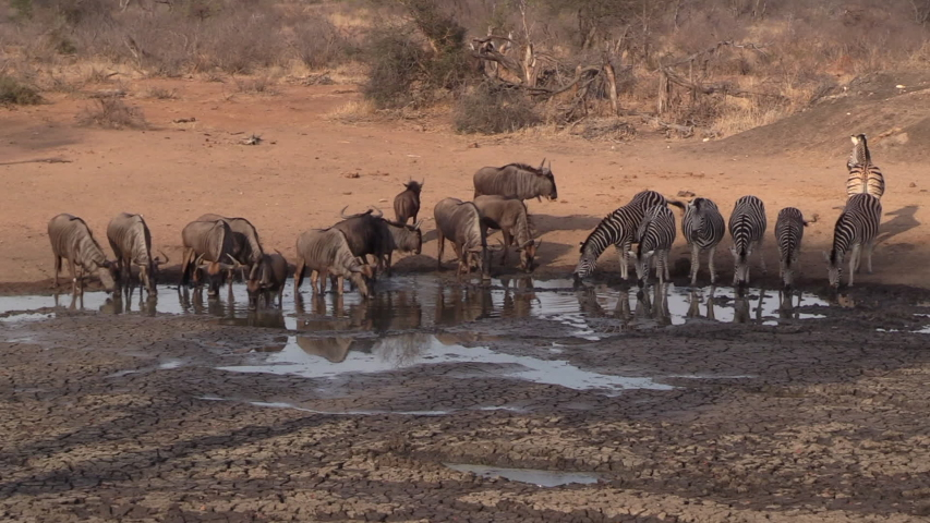 Wide shot of a Zebra herd and Wildebeest herd drinking together from a dried up, shallow water hole in the dry season in Africa. | Shutterstock HD Video #1044253597