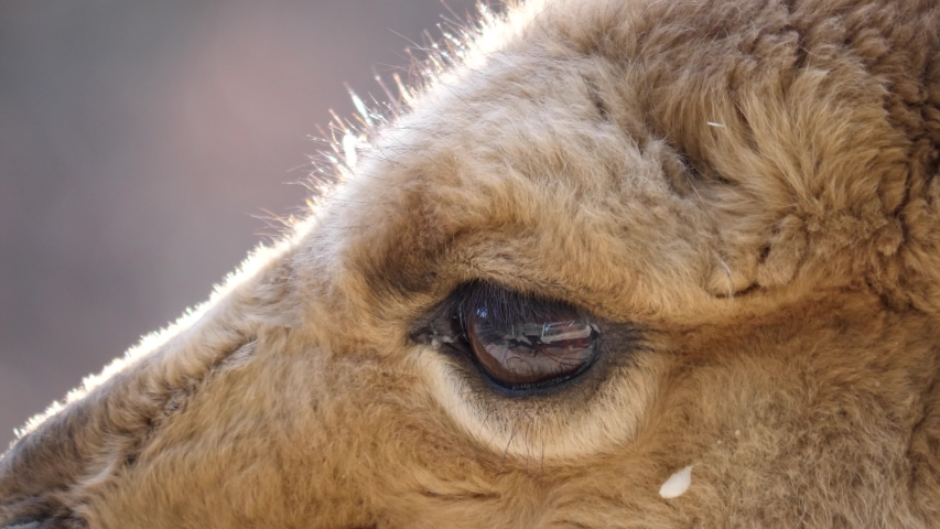 Close up of vicuna head and eye. | Shutterstock HD Video #1044816907