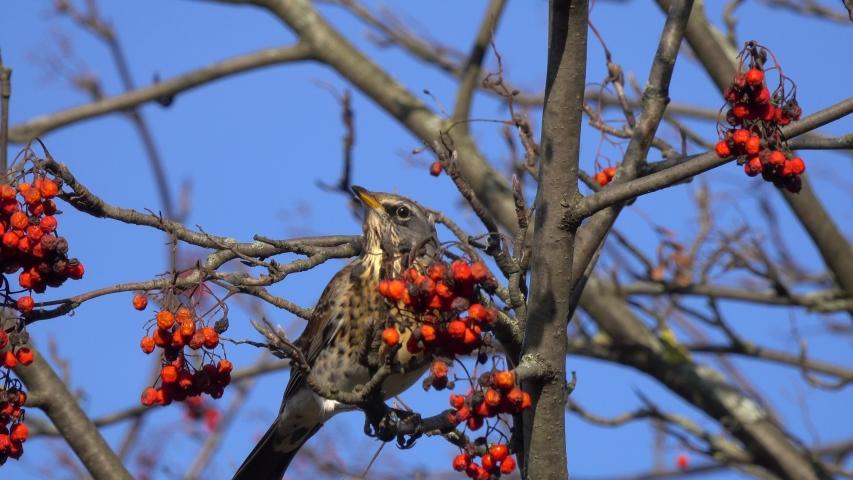Bird Thrush Fieldfare (Turdus pilaris) eats rowan berries | Shutterstock HD Video #1044925897
