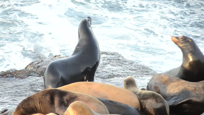 group of sea lions pan right