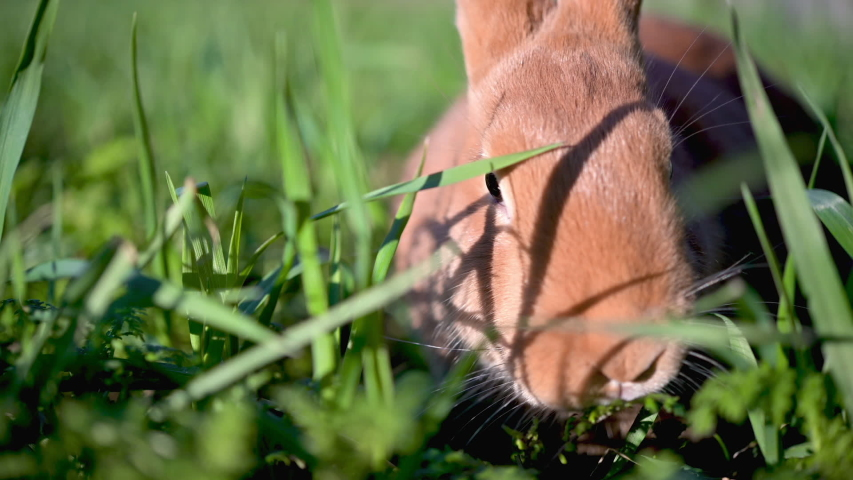 Close up of a cute rabbit sitting and nibbling fresh grass. rabbit on green grass | Shutterstock HD Video #1046772877