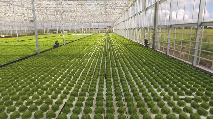 Green lettuce growing in a big bright modern glass greenhouse, warmhouse. Hydroponics, plantation, pattern | Shutterstock HD Video #1047228907