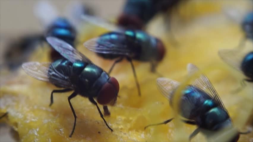 Houseflies crawl and suck mango juice