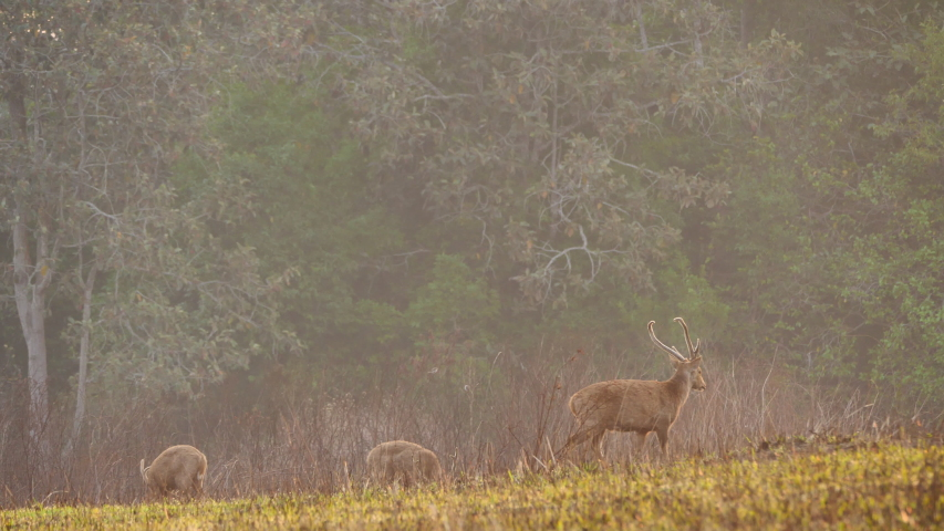 Herd hog deer (Axis porcinus) walking eating grass in forest in the morning time. Animal Wildlife, Nature background Asia Thailand. Slow motion   Shutterstock HD Video #1048524007