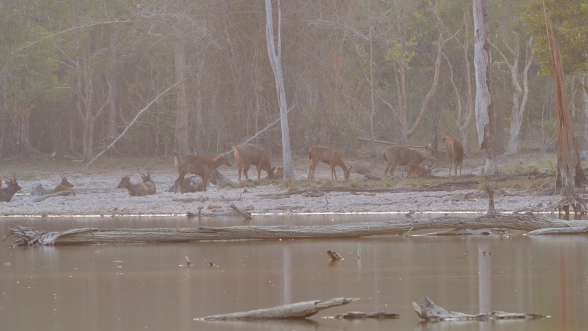 Herd of deer in forest riverside and afternoon sunshine Asia Thailand   Shutterstock HD Video #1048524067